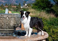 A Border Collie dog standing on a fountain Fine-Art Print