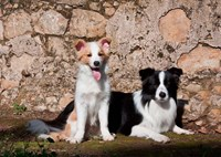 A pair of Border Collie dogs Fine-Art Print
