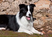 A Border Collie dog next to a rock wall Fine-Art Print