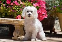 USA, California Maltese sitting next to garden bench with flowers Fine-Art Print