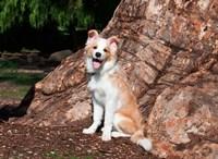 A Border Collie puppy dog Fine-Art Print