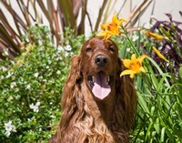Portrait of an Irish Setter sitting next to yellow flowers Fine-Art Print