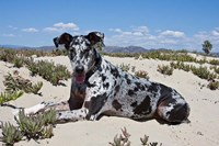 A Great Dane lying in the sand in Ventura, California Fine-Art Print