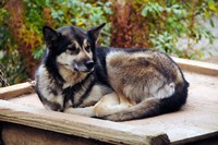 Alaskan Husky dog, Denali Park, Alaska, USA Fine-Art Print