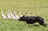 Purebred Border Collie dog herding ducks Fine-Art Print