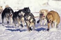 Iditarod Dog Sled Racing through Streets of Anchorage, Alaska, USA Fine-Art Print