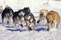 Iditarod Dog Sled Racing through Streets of Anchorage, Alaska, USA Fine-Art Print