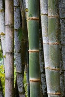 Bamboo, Jardin De Balata, Martinique, French Antilles, West Indies Fine-Art Print