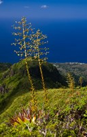 Martinique, West Indies, Agave on Ridge, Mt Pelee Fine-Art Print