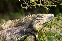 Iguanas (Lizard), Cayman Islands, Caribbean Fine-Art Print