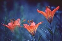 Alberta, Jasper National Park Wood lily flowers Fine-Art Print