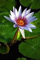 Lily flower pads, Botanic Park, Grand Cayman Fine-Art Print