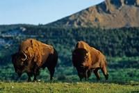Bison bulls, Waterton Lakes NP, Alberta Canada Fine-Art Print