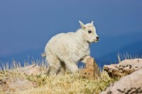 Mountain Goat, Rocky Mountains, Colorado Fine-Art Print