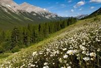 Oxeye daisy flowers, Kananaskis Range, Alberta Fine-Art Print