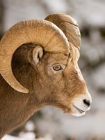 Bighorn sheep, Maligne Canyon, Jasper NP, Alberta Fine-Art Print