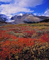 Alberta, Columbia Icefields, Huckleberry meadows Fine-Art Print