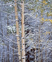 Alberta, Peter Lougheed PP Aspen trees in snow Fine-Art Print