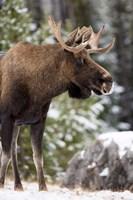 Alberta, Jasper National Park Bull Moose wildlife Fine-Art Print