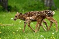 Canada, Alberta, Waterton Lakes NP, Mule deer fawns Fine-Art Print