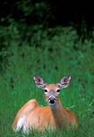 Alberta, Waterton Lakes, Mule Deer wildlife Fine-Art Print