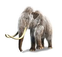 Woolly Mammoth, White Background Fine-Art Print