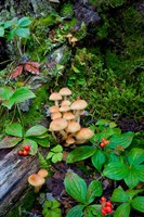 British Columbia, Bowron Lakes Park Bunchberry, Forest Fine-Art Print
