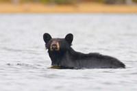 British Columbia, Bowron Lakes Park, Black bear Fine-Art Print
