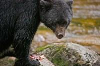 British Columbia, Gribbell Island, Black bear, salmon Fine-Art Print