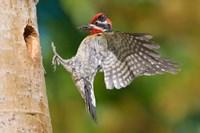 British Columbia, Red-naped Sapsucker bird Fine-Art Print