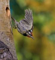 British Columbia, Red-naped Sapsucker, flight, nest Fine-Art Print