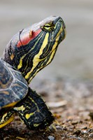 Red-eared pond slider turtle, British Columbia Fine-Art Print