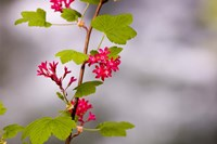 Red-flowering currant, Vancouver, British Columbia Fine-Art Print