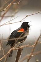 Red-winged blackbird, Stanley Park, British Columbia Fine-Art Print