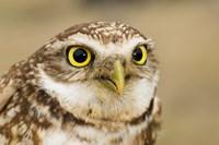 Burrowing owl, Nicola Valley, British Columbia Fine-Art Print