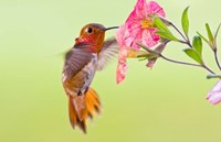 Rufous Hummingbird feeding in a flower garden, British Columbia, Canada Fine-Art Print