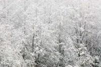 Snow-covered trees, Stanley Park, British Columbia Fine-Art Print
