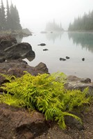 Alpine lady fern, Garibaldi Lake, British Columbia Fine-Art Print