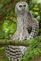Barred owl, Stanley Park, British Columbia Fine-Art Print