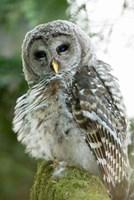 Juvenile barred owl, Stanley Park, British Columbia Fine-Art Print
