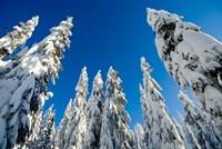 Snow-laden forest, Seymour Mountain, British Columbia Fine-Art Print