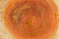 Tree rings, Stanley Park, British Columbia Fine-Art Print
