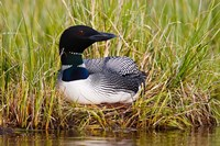 British Columbia, Common Loon bird Fine-Art Print