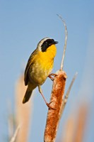 British Columbia, Common Yellowthroat breeding territory Fine-Art Print