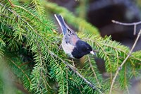 British Columbia, Dark-eyed Junco bird in a conifer Fine-Art Print
