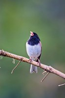 British Columbia, Dark-eyed Junco bird, singing Fine-Art Print