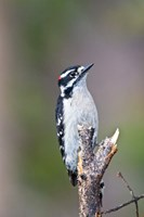 British Columbia, Downy Woodpecker bird, male (front view) Fine-Art Print