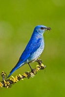 British Columbia, Mountain Bluebird with caterpillars Fine-Art Print