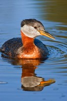 British Columbia, Red-necked Grebe bird in lake Fine-Art Print