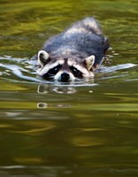 Common Raccoon, Stanley Park, British Columbia Fine-Art Print